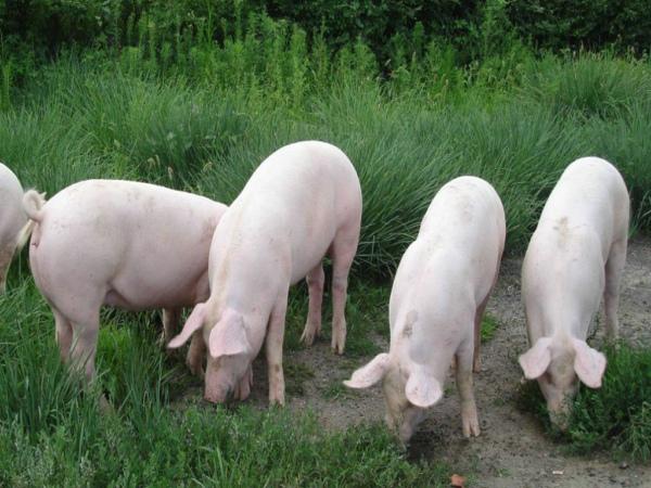 风途动物疫病诊断仪可检测猪蓝耳病毒