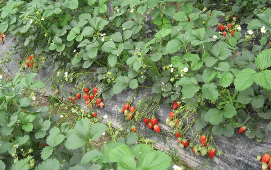越南警方查获两吨购自中国的不合格草莓