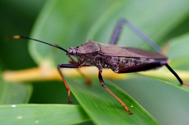 九香虫是什么?在农村很常见